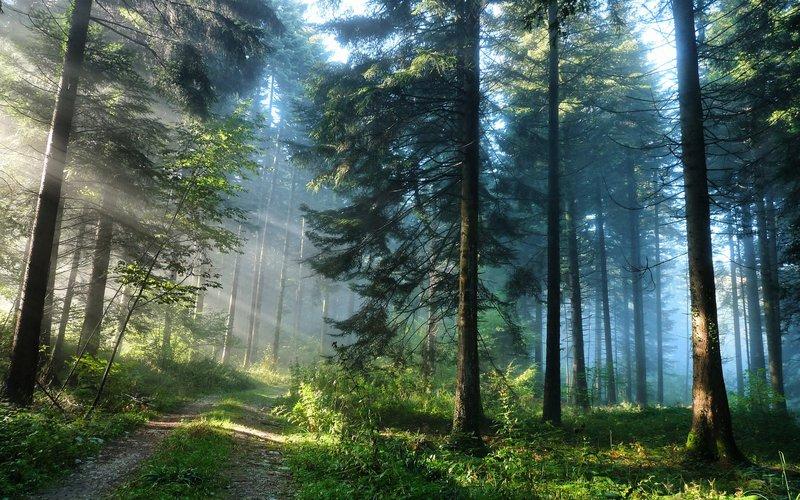 Фото Дорога в сосновом лесу картинки обои на рабочий стол