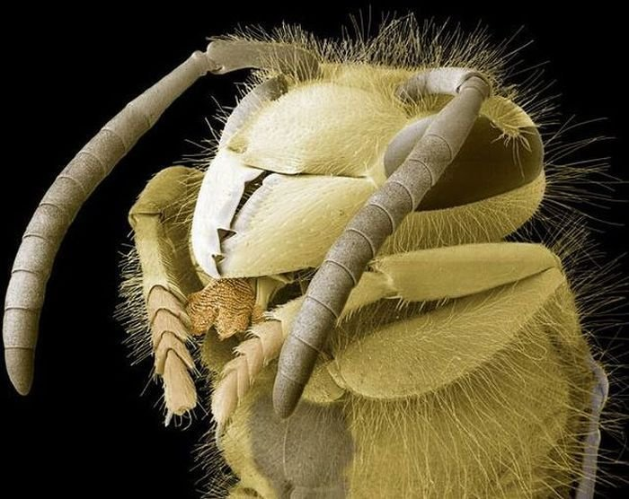 Голова осы