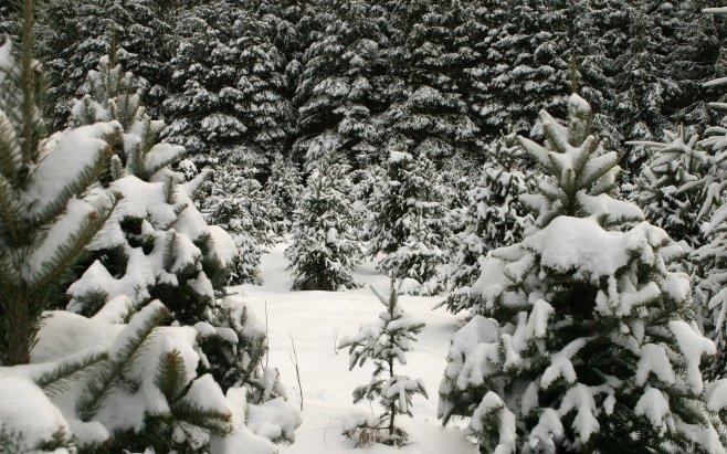 Хвойный лес зимой — картинки и обои для рабочего стола | GrandWallpapers