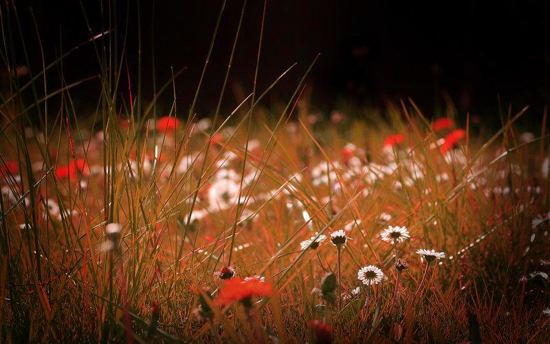 Полевые цветы, виньетка