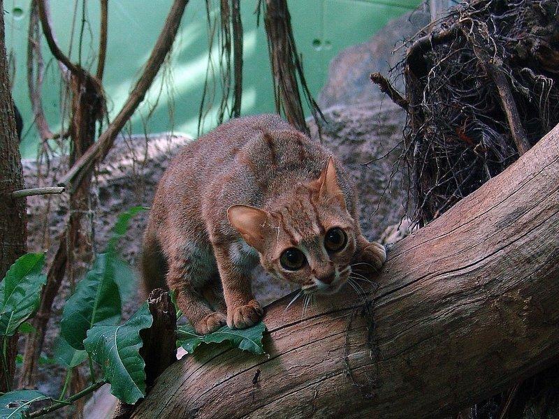 Ржавая кошка - самая маленькая дикая кошка в мире