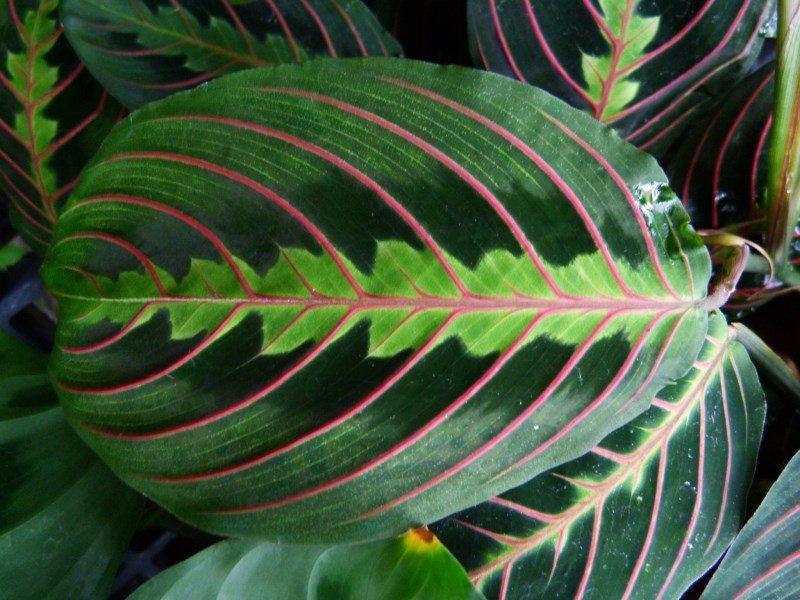 Красивые листья Prayer plant