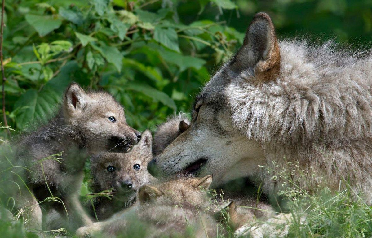 модели картинки волк и волчонок фасад пятиэтажного