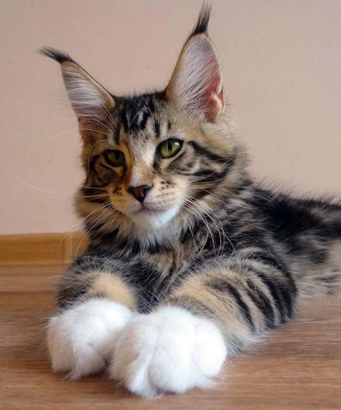 Представители породы Мейн-кун веселые, но спокойные коты, которые не имеют привычки «наводить в доме порядки», как это любят некоторые другие породы кошек.