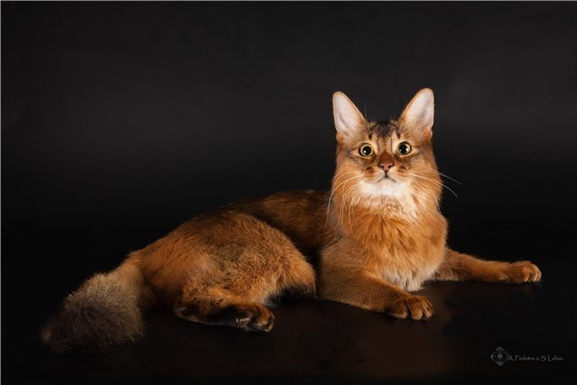 Родина сомалийской кошки – Ðфиопия, которая раньше называлась Абиссинией. Там появилась известная сегодня абиссинская порода, а длинношерсÑ'Ð½Ñ‹Ñ ÐµÐµ представителей назвали сомалийцами – по названию соседней страны Сомали.