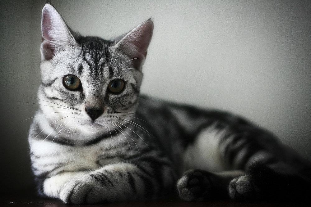 короткошёрстный фото американский кот