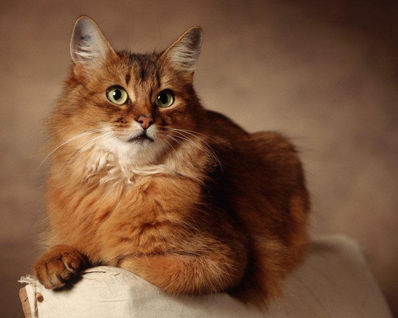 Здоровью ÑÐ¾Ð¼Ð°Ð»Ð¸Ð¹ÑÐºÐ¸Ñ ÐºÐ¾ÑˆÐµÐº могут позавидовать многие домашние любимцы. Крепкие и сильные, лисьи кошки отличаются стойким иммунитетом и слабой восприимчивостью ко многим инфекциям