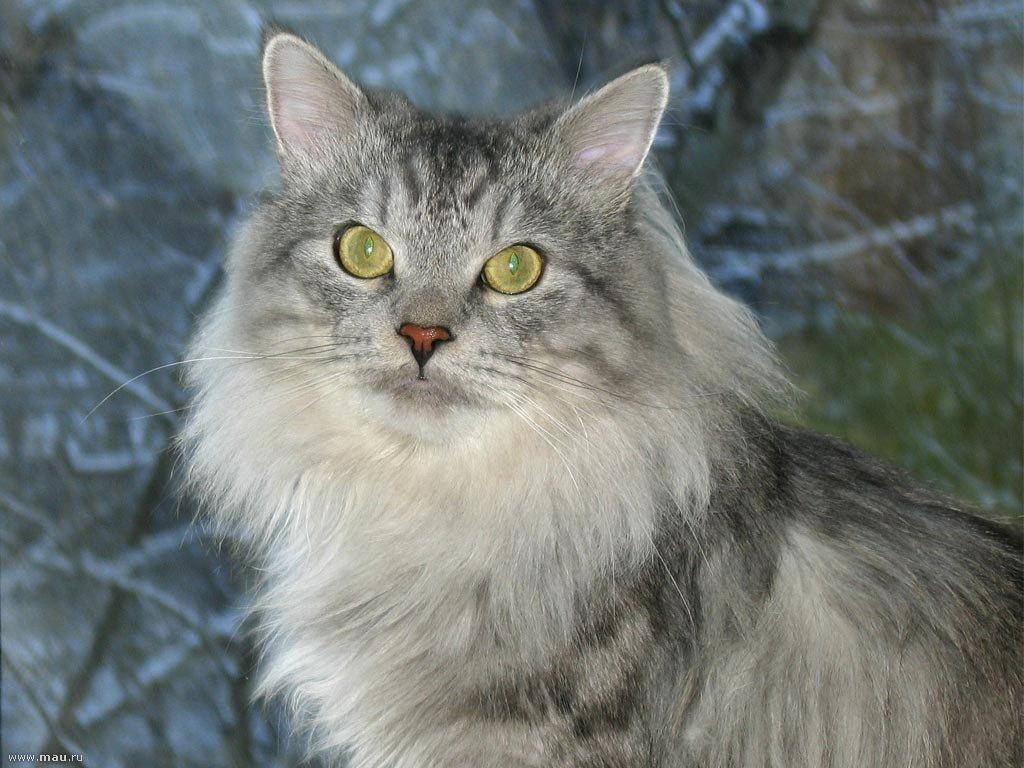 Картинки кошки сибирской