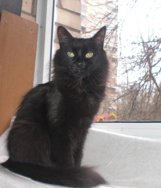 турецкий ангор кот черный