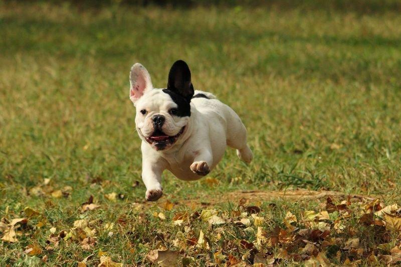 Фотографии французских бульдогов   Собака и Кошка - все о домашних животных