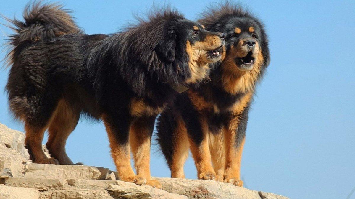 самая большая собака в россии бесплатных