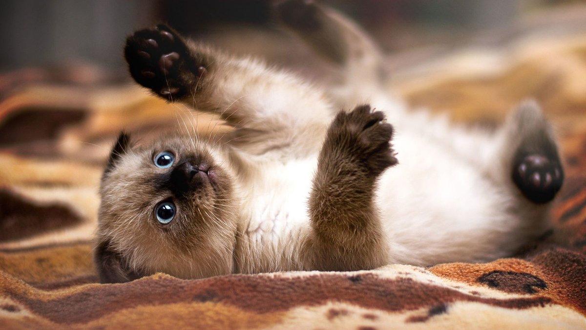 Сиамские кошки имели царские привилегии и в Англии. В конце XIX века королева Виктория, питающая страсть к сиамским кошкам, посетила первые выставки, что сказалось на невиданном росте популярности этой породы в стране.