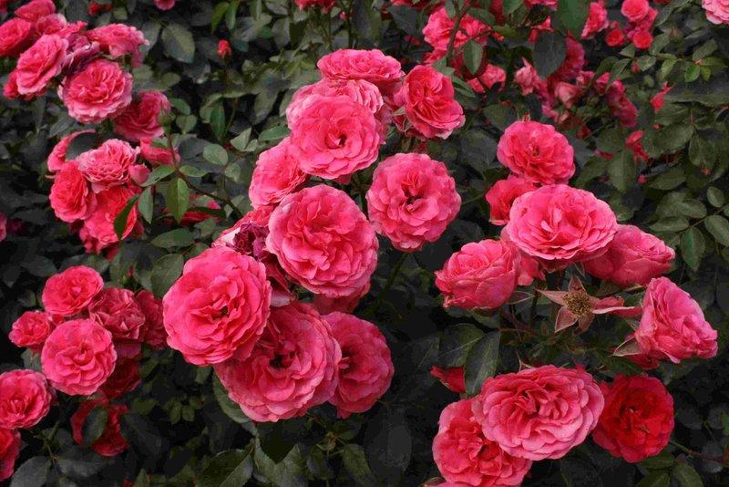 Розы для сада купить купить цветы в одинцово