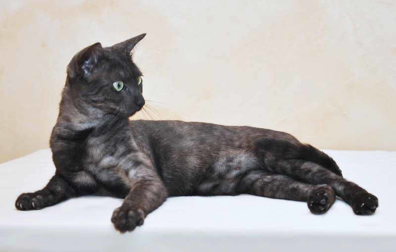 кошка азиатская дымчатая фото