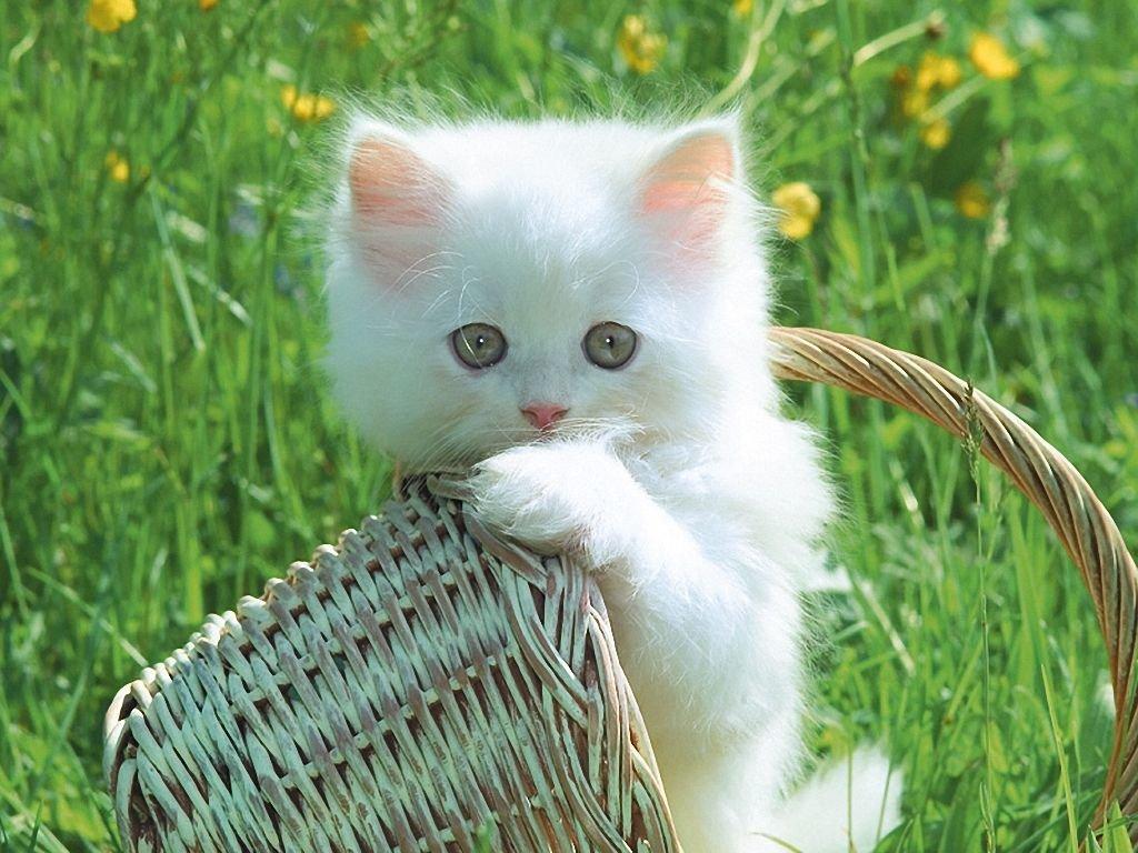 Картинки белые котята милые и смешные