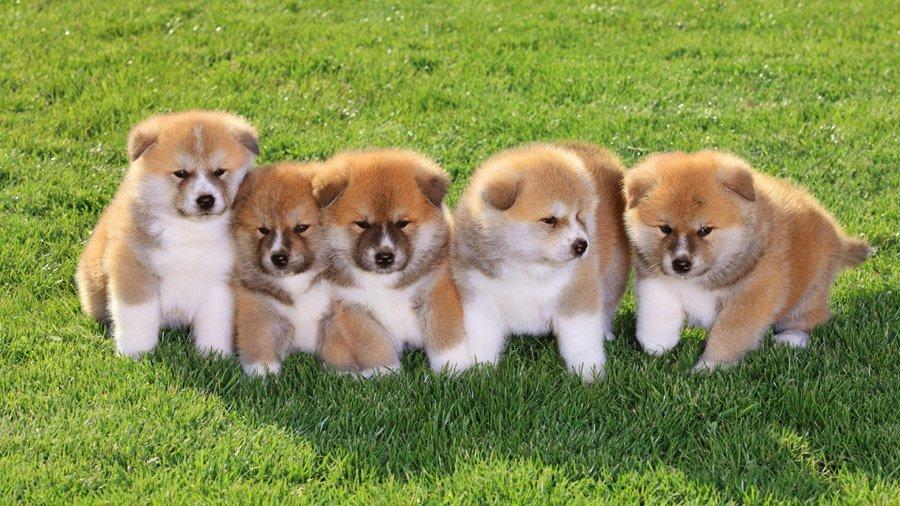 Интеллект Акита-ину более чем развитый, благодаря чему эта порода собак способна на много большее, чем другие породы.