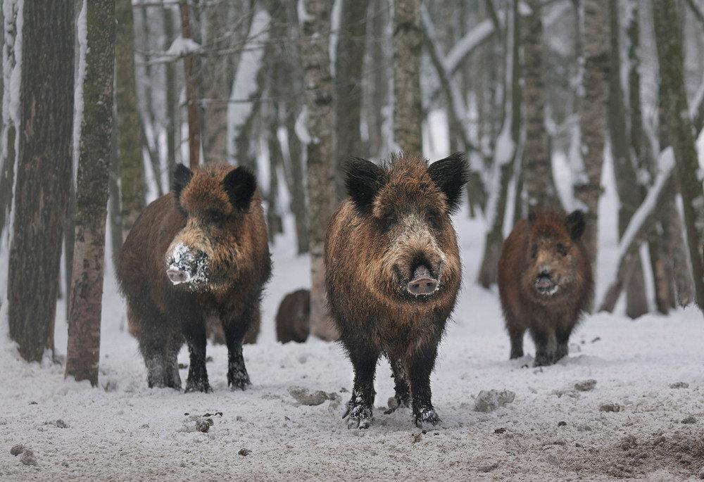 Дикие кабаны в зимнем лесу