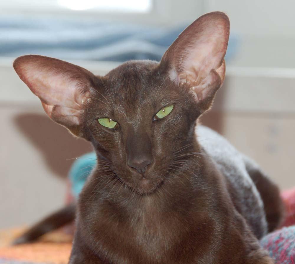 порода котят с большими ушами фото использует все виды