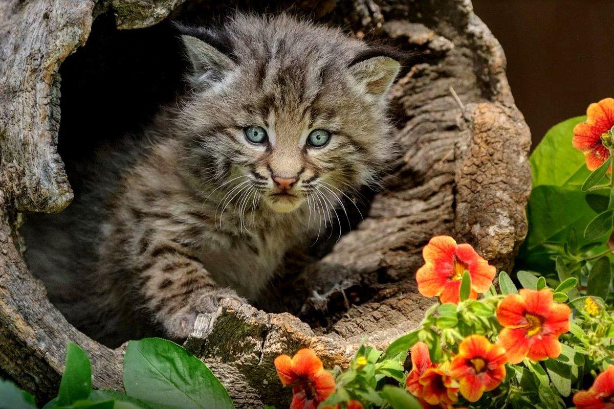 Котёнок рыжий рыси