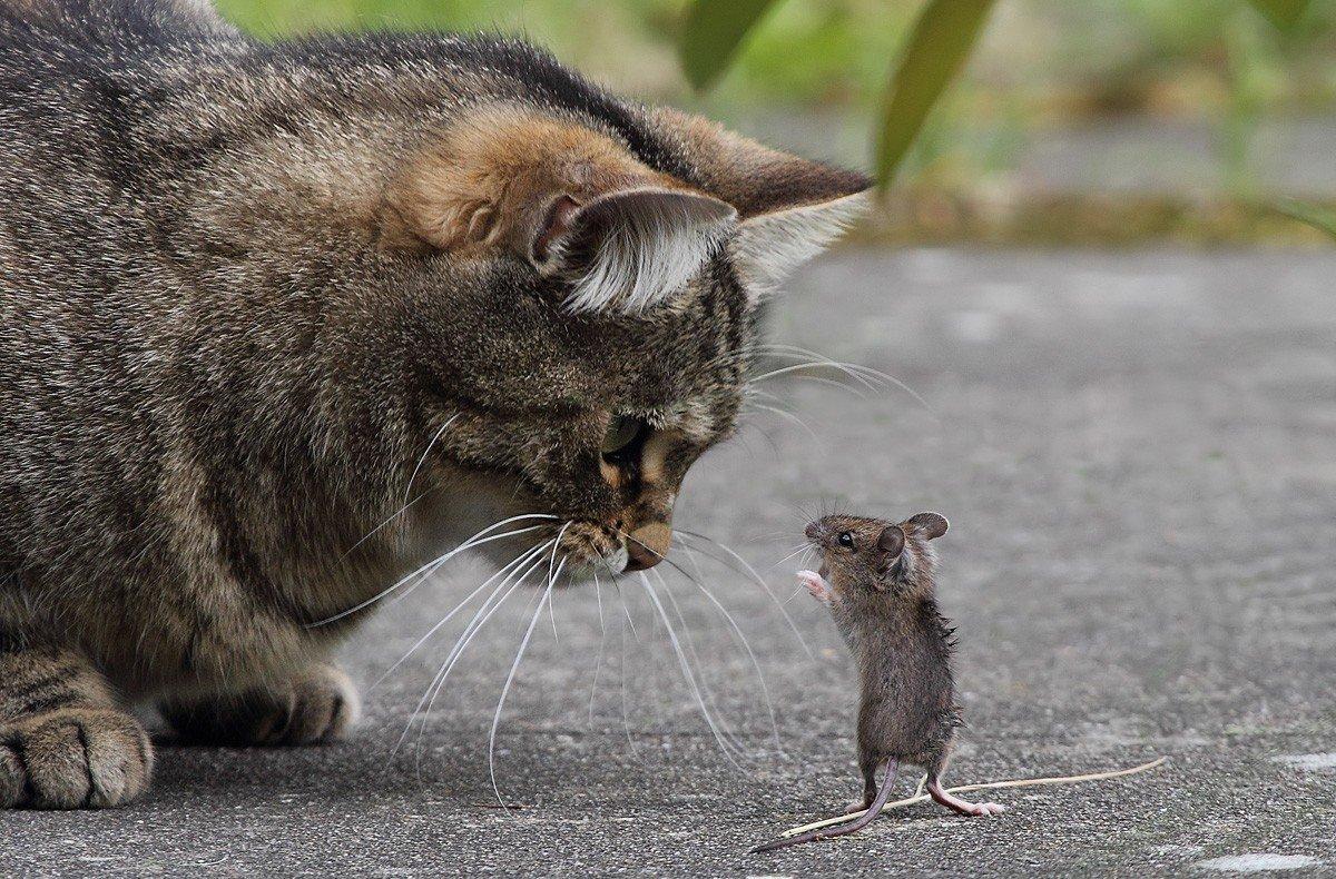 Картинки кошки и мышки, товарищества абрикосов сыновья