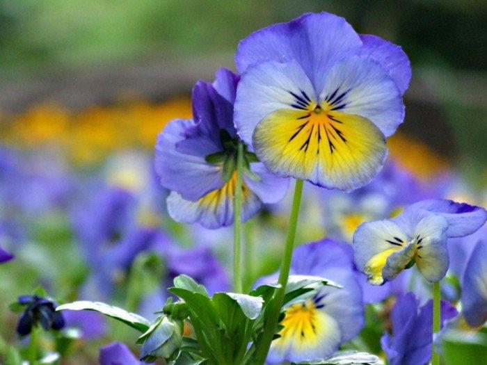 Виола алтайская — декоративный многолетник до 20 см высотою с иссиня-фиолетовыми либо белыми с синими полосами цветками, «подсвеченными» ярким жёлтым пятнышком.