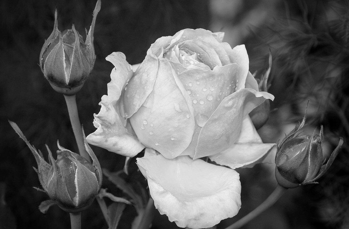 Красивые картинки черно белые розы