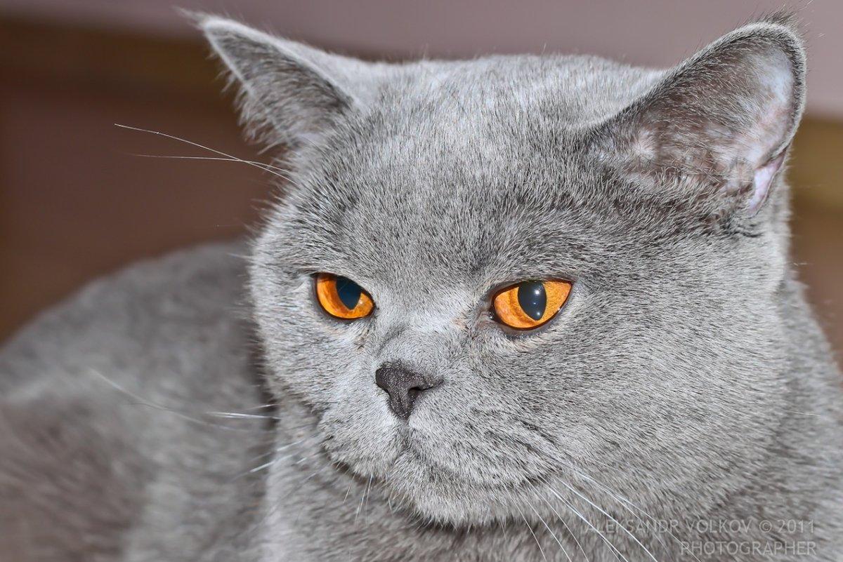 Картинки порода котов британец
