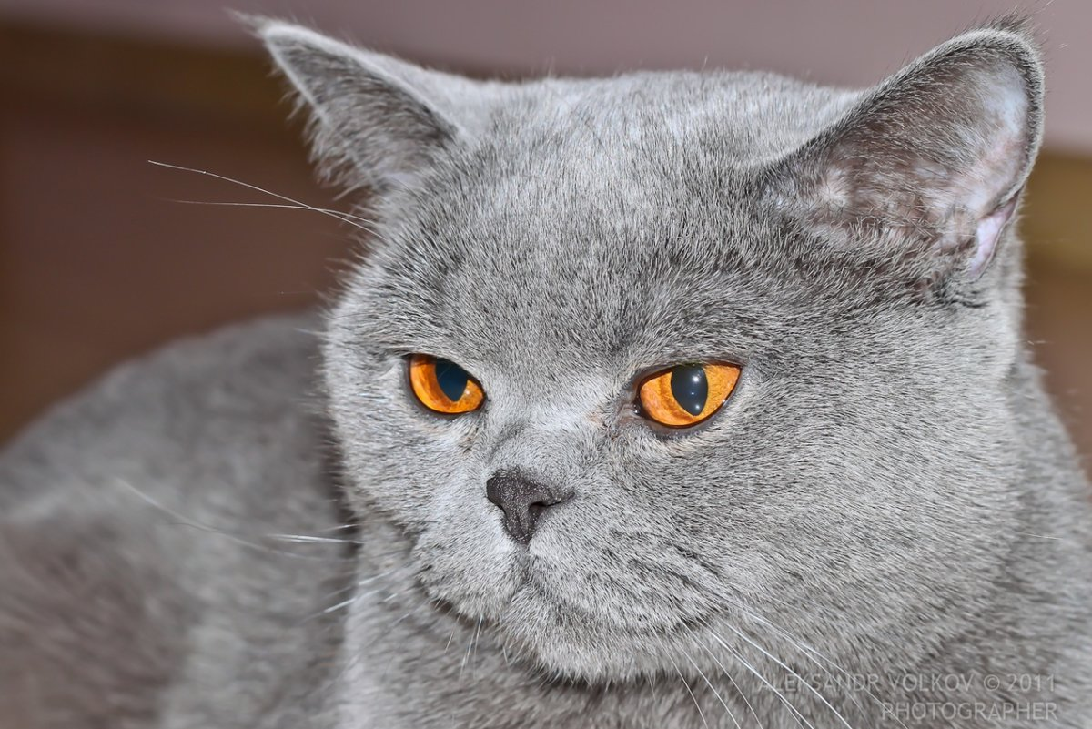 шаг все картинки британских кошек выглядит декоративная смесь