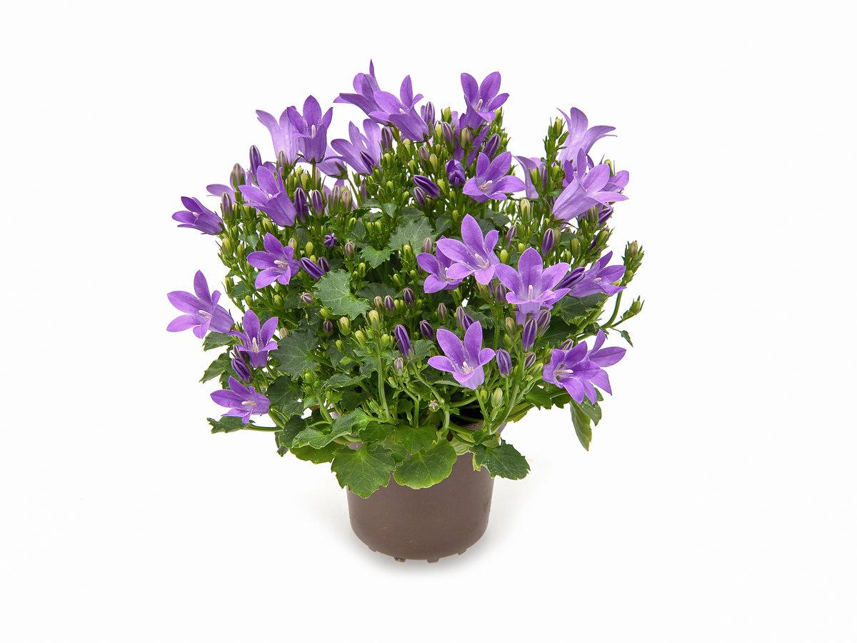 кампанелла цветок в картинках