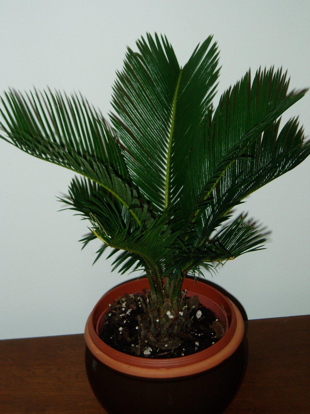 Цветы пальма фото болезни 8