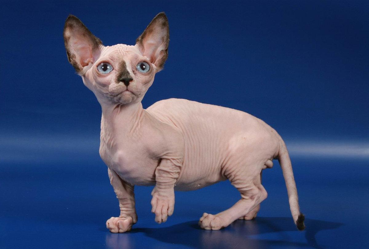 Удивительно милые и дружелюбные кошки породы бамбино отличаются весьма покладистым нравом и игривым Ñарактером