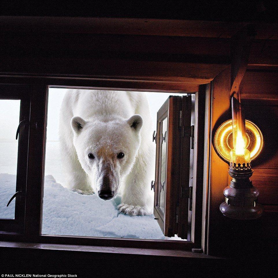 клинок фото белый медведь фургон окно этом вам поможет