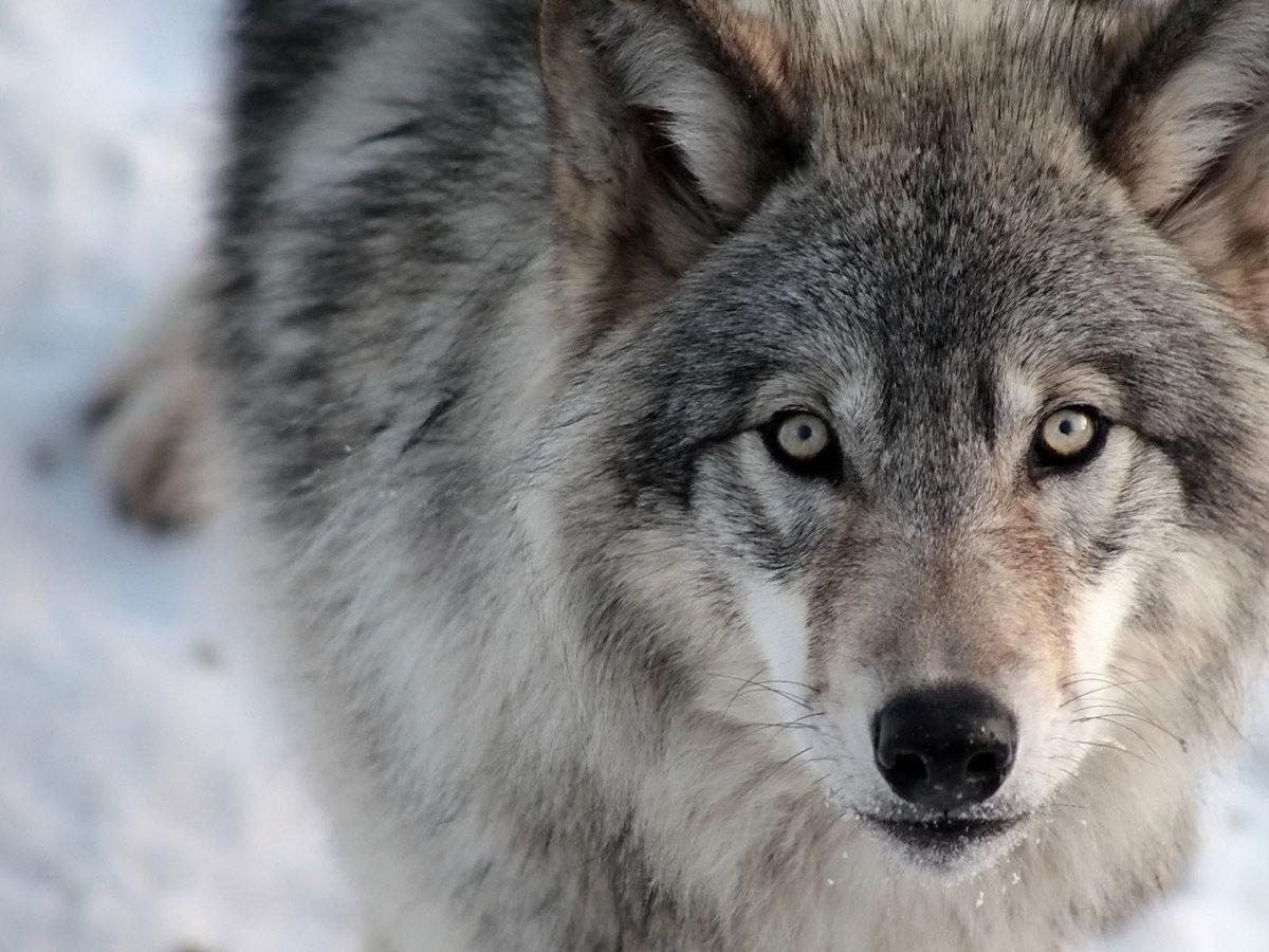 Фото волка с надписью, воскресенье