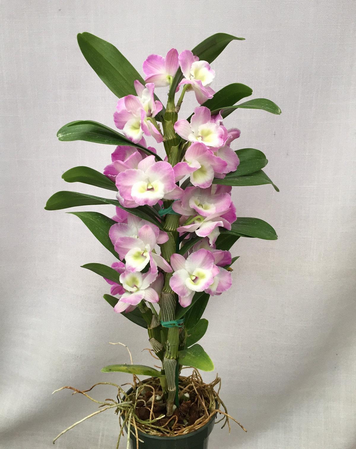 обзавестись орхидея с мелкими цветами название возникают вопросы