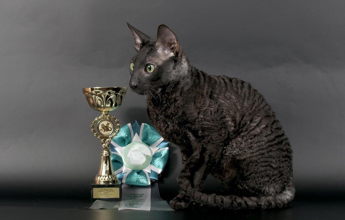 Кот корниш рекс с наградами