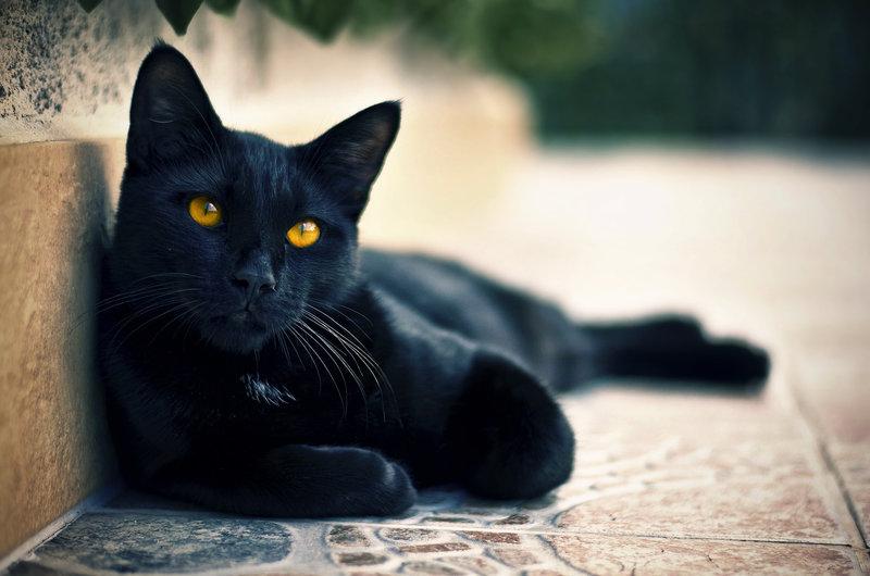 Бомбейская кошка умеет находить общий «язык» со всеми членами семьи, к тому же ее несложно выдрессировать.