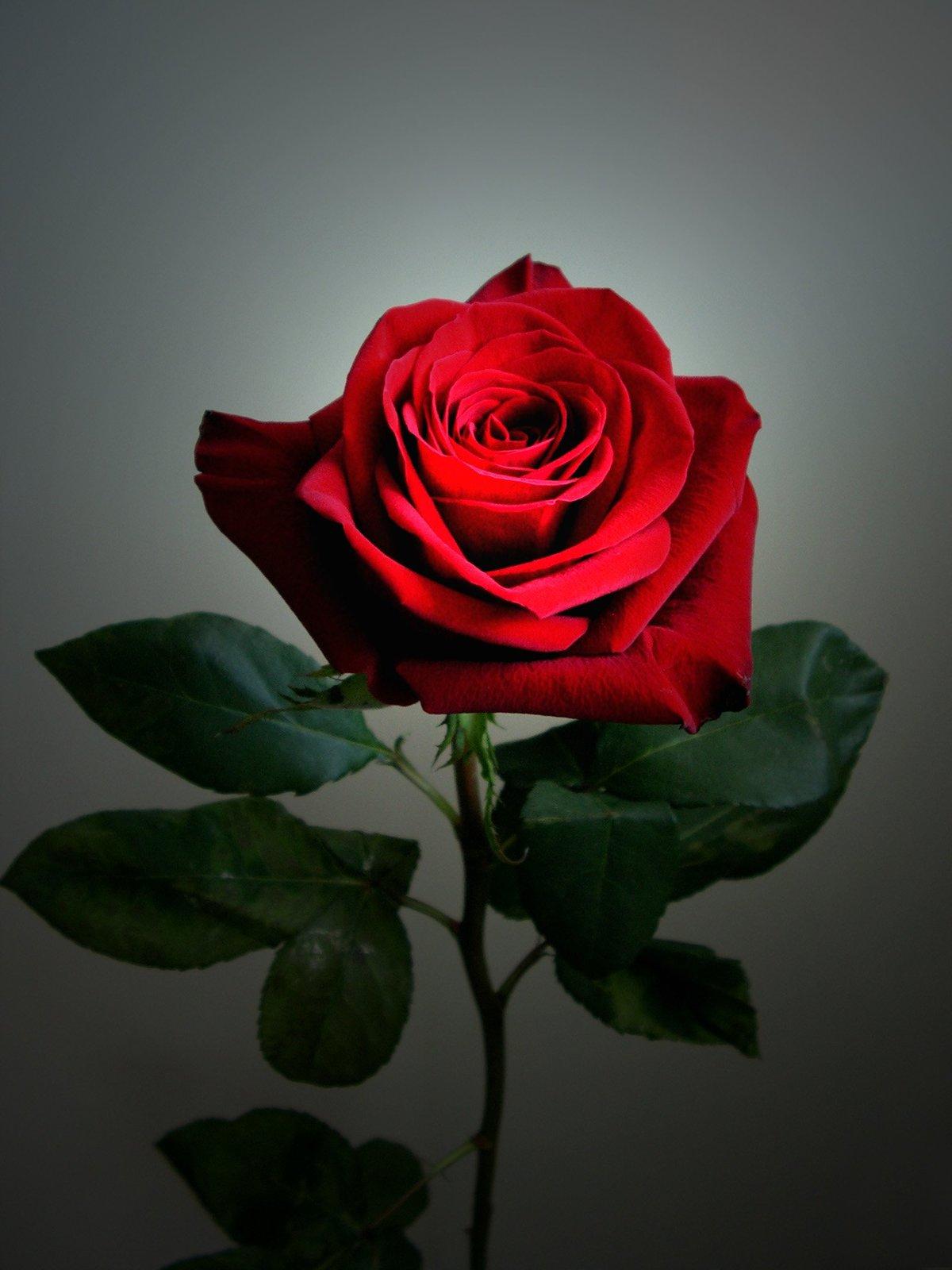 Одна роза фото картинки