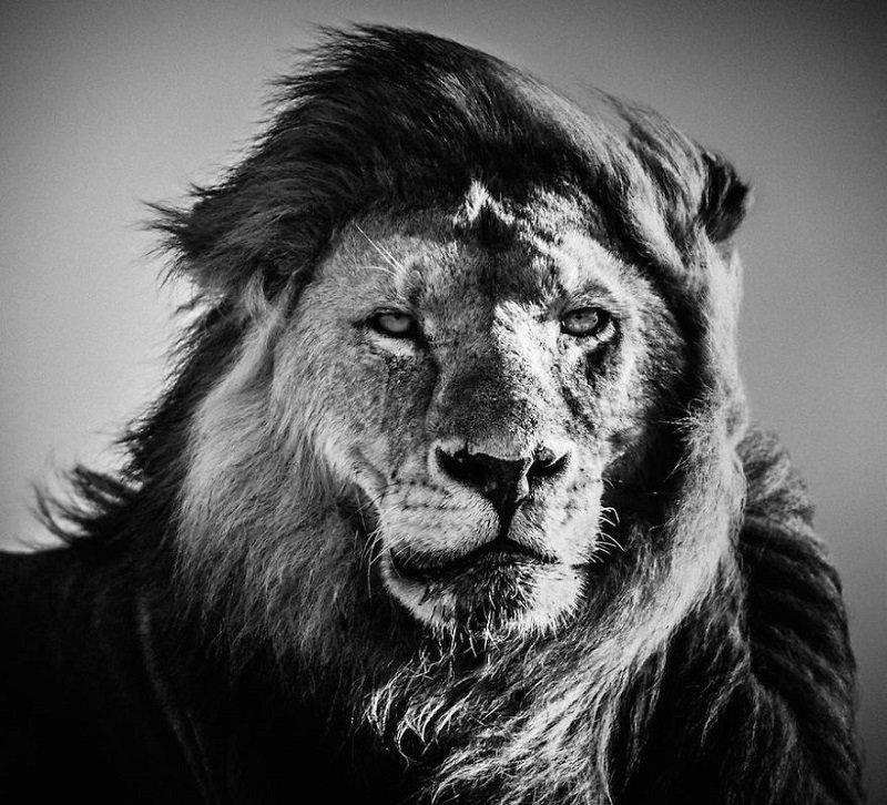 черно белые картинки льва на аву крутые номера могут