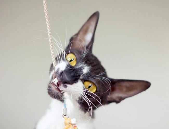 Лунный мальчик из сказки и изысканная,  богемная англичанка – так выглядят типичные коты и кошки породы Корниш-рекс (англ. Cornish Rex). Равнодушными эти гламурные кисы не оставляют никого. Кто-то недоуменно рассматривает ÐºÐ°Ñ€Ð°ÐºÑƒÐ»ÐµÐ²Ñ‹Ñ ÐºÑ€Ð°ÑÐ¾Ñ'ок, а кто-то давно признал Ð¸Ñ Ð¿ÐµÑ€Ð²ÐµÐ½ÑÑ'во на кошачьем конкурсе красоты Ð¡at Вселенной. Ниже – особенности породы и нюансы содержания.