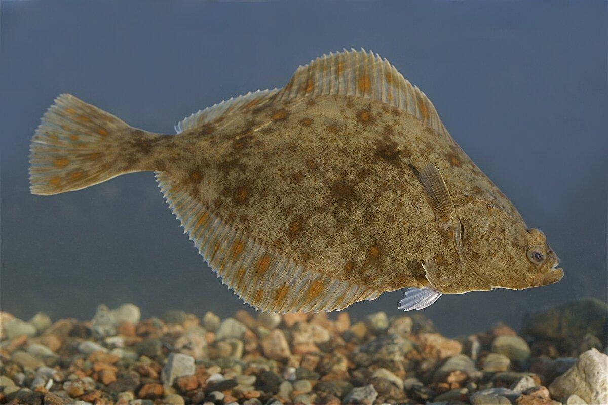 Картинка рыбки камбала