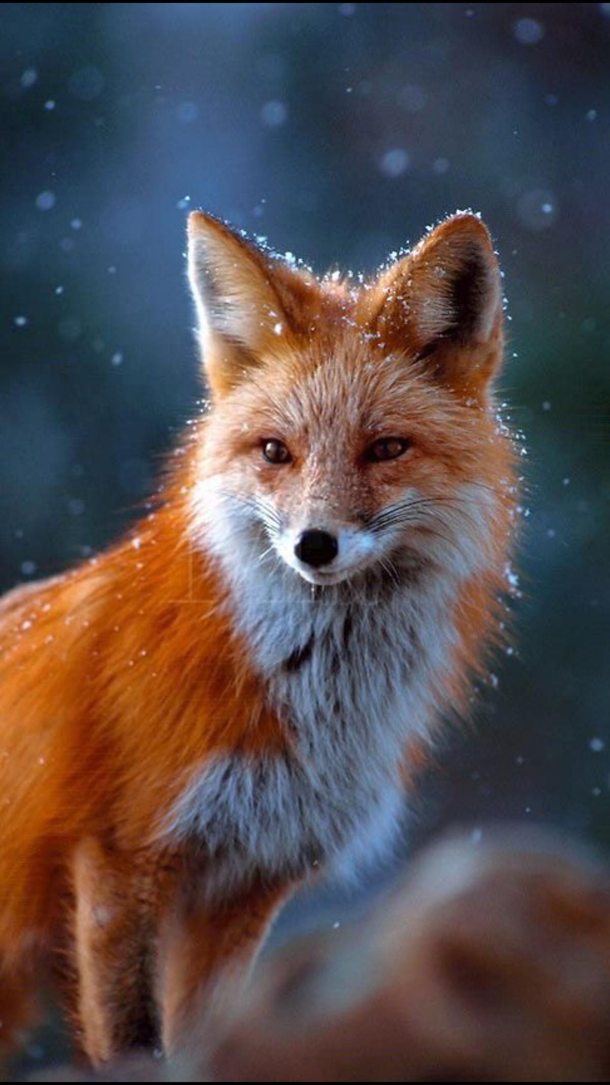 картинки с красивыми лисичками так как компания