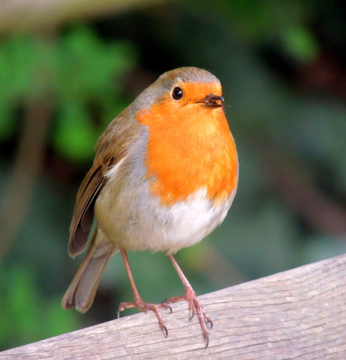 Картинка малиновки птицы