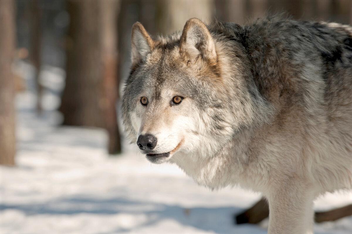 десятилетия, большие картинки волков натура сильная