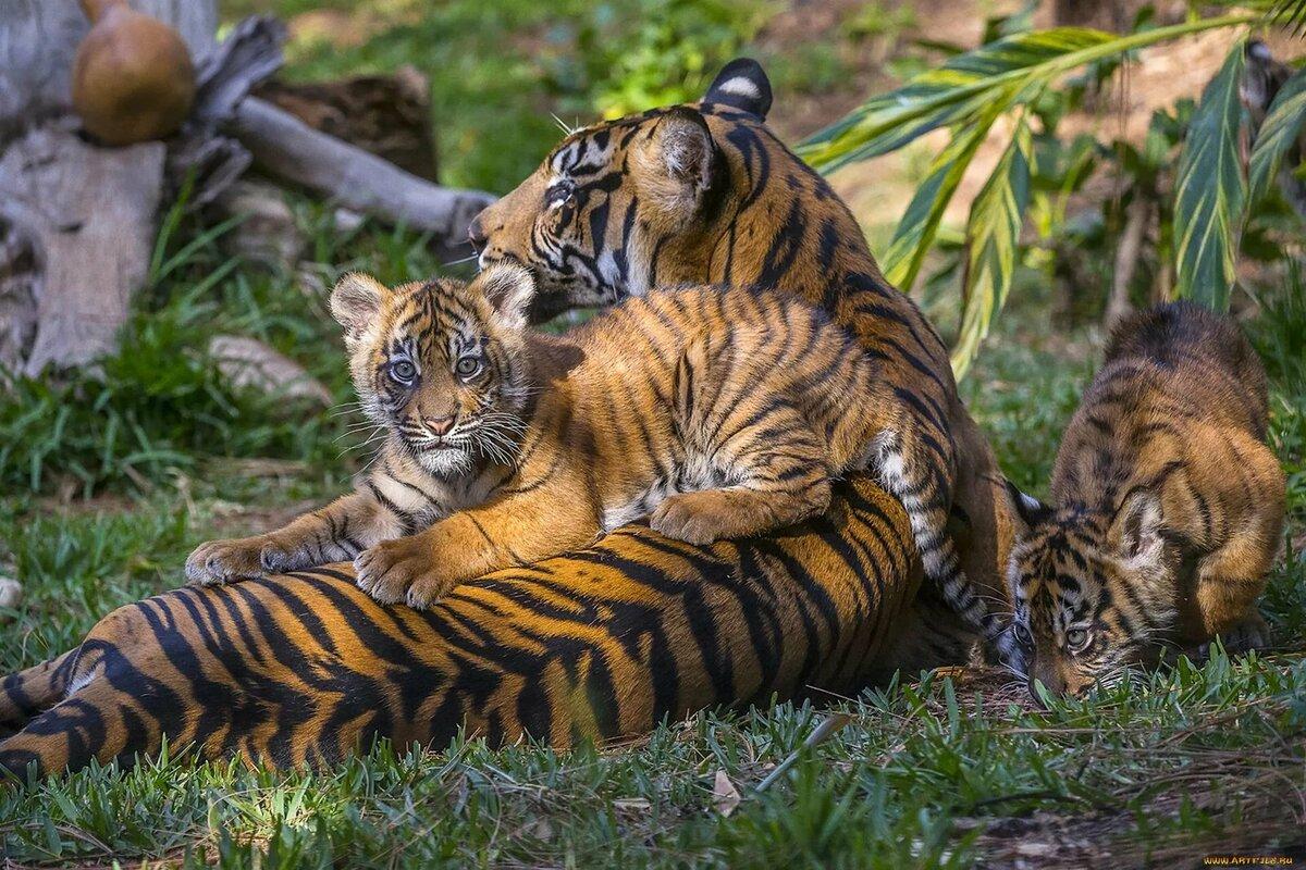 Фото с тигрятами спб