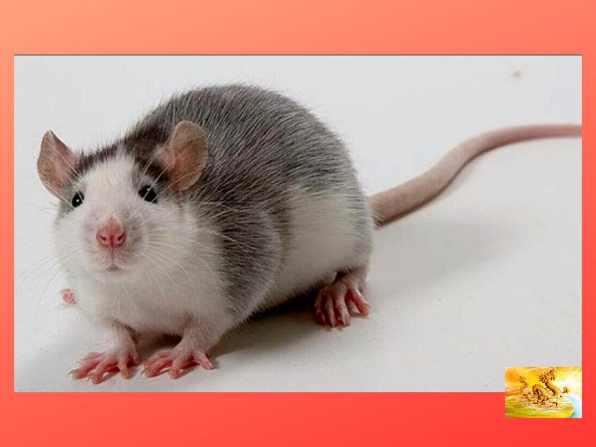 картинки крыс хаски стали