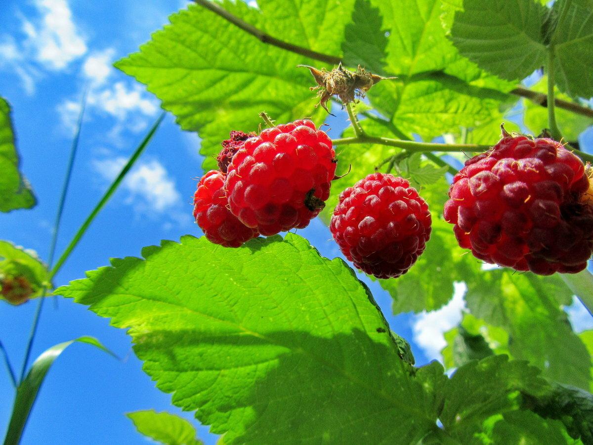 Картинки малина ягоды