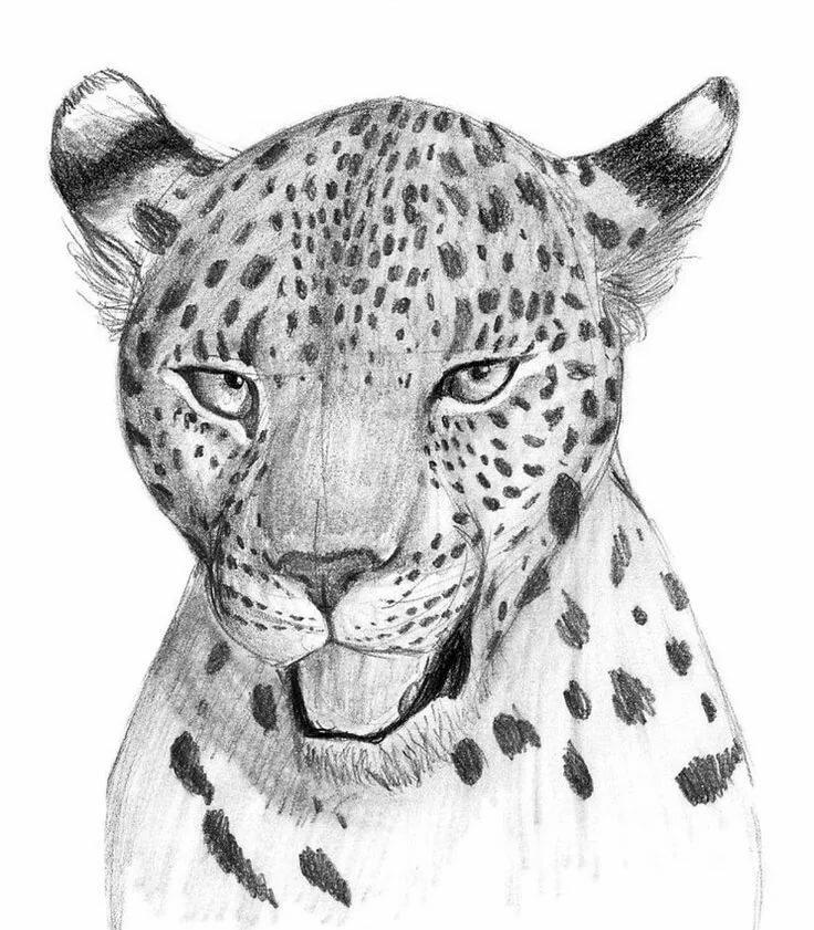 необходимо леопард рисунок карандашом известны своей
