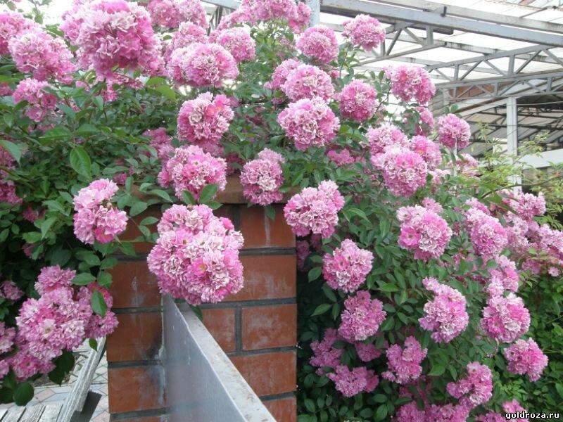 изучать роза рамблер розового цвета фото разнообразных благоухающих цветов