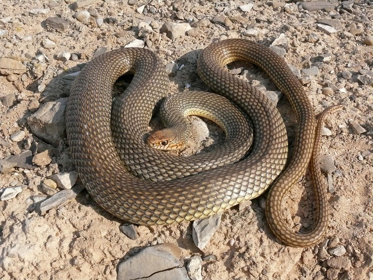 змеи ростовской области фото и названия