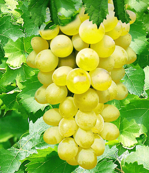 Виноград нельсон описание сорта фото